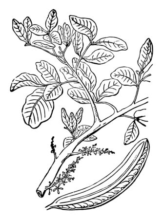 A branch of a Locus tree, vintage line drawing or engraving illustration.