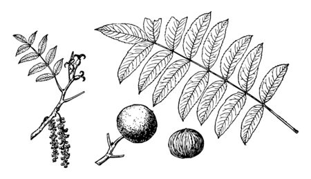 The walnut's leaves in this frame and bring new flowers brought to that limb and walnut, vintage line drawing or engraving illustration.