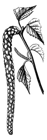 Cylindrical shaped flowers hanging on a branch, vintage line drawing or engraving illustration. Illusztráció