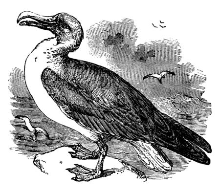 Wandering Albatross is a seabird with the largest wingspan of any living bird, vintage line drawing or engraving illustration.