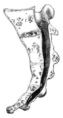 This illustration represents Vertical Section of the Sacrum, vintage line drawing or engraving illustration.