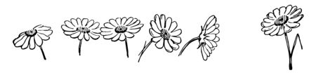 This card shows one daisy flower. Also known as Asteraceae. These flowers are native to north & central Europe. This card shows flower in different angles, Vintage line drawing or engraving illustrati