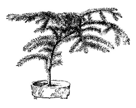 The synonym for Araucaria heterophylla is Araucaria Excelsa.  This is a vascular plant in the ancient and grows unsymmetrically, vintage line drawing or engraving illustration.