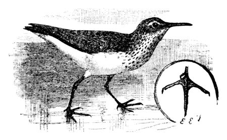 Semipalmated Sandpiper is a bird in Scolopacidae family of waders, vintage line drawing or engraving illustration. Illustration