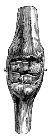 Ligaments of the Carpus where internal lateral ligament and external lateral ligament are presents, vintage line drawing or engraving illustration.