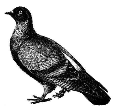 Blue rock dove or rock pigeon is a member of the bird family Columbidae, vintage line drawing or engraving illustration.