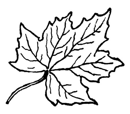 Its a leaf of a Maple tree. It is a tree with five-pointed leaves which turn bright red or gold in autumn, vintage line drawing or engraving illustration.