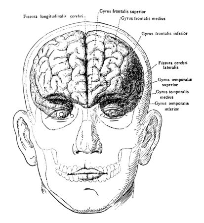 The brain in relation to the skull and face anterior view, vintage line drawing or engraving illustration.