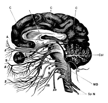 The brain and the cranial nerves seen partly in section and partly in side view, vintage line drawing or engraving illustration. Ilustracja