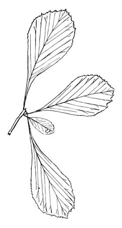 This is a thorny branch of Genus Crataegus,L. This is a small tree and its leaves are simple and alternative, vintage line drawing or engraving illustration.
