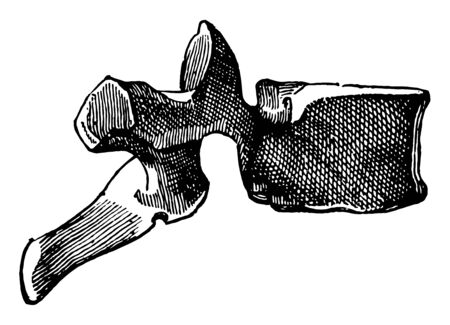 This illustration represents Side View of a Dorsal Vertebra, vintage line drawing or engraving illustration.