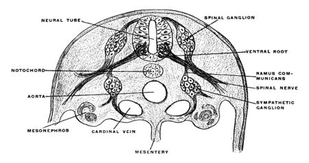 This illustration represents Development of Spinal Nerve, vintage line drawing or engraving illustration. Ilustracja