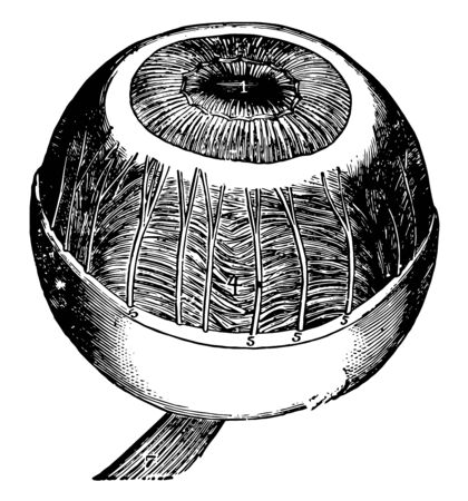 This illustration represents Iris Ciliary Muscle and Coroidea Membrane, vintage line drawing or engraving illustration.