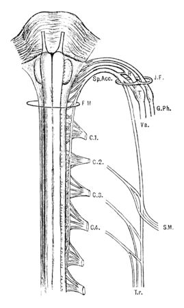 This illustration represents Spinal Accessory Nerve, vintage line drawing or engraving illustration. Stock Illustratie