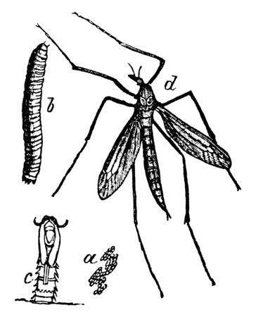 Crane Fly is a common name referring to any member of the insect family Tipulidae, vintage line drawing or engraving illustration.