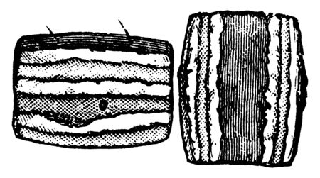 Canker Worm Segments is a moth of the family Geometridae, vintage line drawing or engraving illustration.