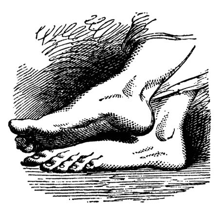 The foot is a biological structure found in humans that is used for walking, vintage line drawing or engraving illustration.