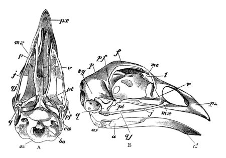 Skull of a Bird which process before the sustachian aperture, vintage line drawing or engraving illustration. Stock Illustratie
