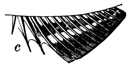 Three Spines on the Anal Fin of a Bony Fish which gives name to the acanthopterygian fishes, vintage line drawing or engraving illustration. Ilustração