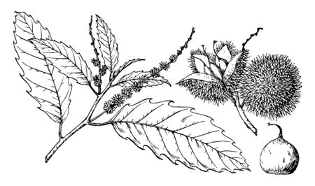 In this image a branch of American chestnut also known as Castanea dentata, vintage line drawing or engraving illustration.