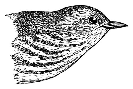 Yellow Warbler is a New World warbler, vintage line drawing or engraving illustration.