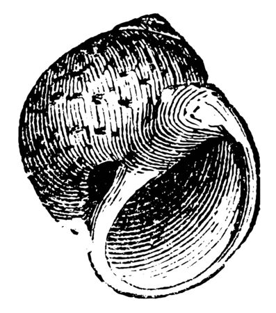 Natica catenoides is a genus of small to medium sized predatory sea snails, vintage line drawing or engraving illustration.
