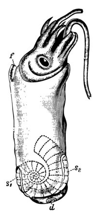 Spirula Peronii is a species of deep water squid like cephalopod mollusk, vintage line drawing or engraving illustration. Ilustrace