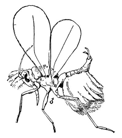 White Fly is small Hemipterans that typically feed on the undersides of plant leaves, vintage line drawing or engraving illustration. 向量圖像