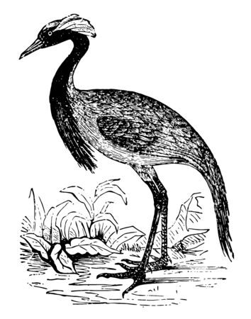 Demoiselle Crane is gifted with great powers of mimicry, vintage line drawing or engraving illustration. Stok Fotoğraf - 133006074