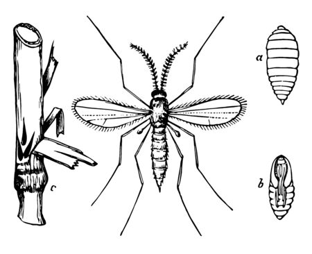 Stages of the Hessian Fly may pose a serious threat to wheat, vintage line drawing or engraving illustration. Çizim