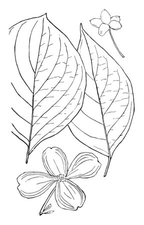 Two oval shaped, pointed apex leaves and full blossomed flowers, vintage line drawing or engraving illustration.