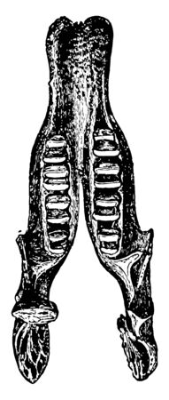 This image represents Lower Jaw of Megatherium Fossil Skeleton, vintage line drawing or engraving illustration.