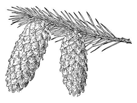 Two full grown pine cones facing downwards on a branch of tree, vintage line drawing or engraving illustration. Ilustração