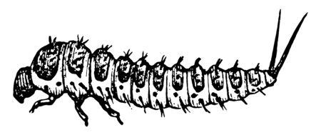 Fungus Beetle Larva where the larva of Erotylus boisduvali, vintage line drawing or engraving illustration.