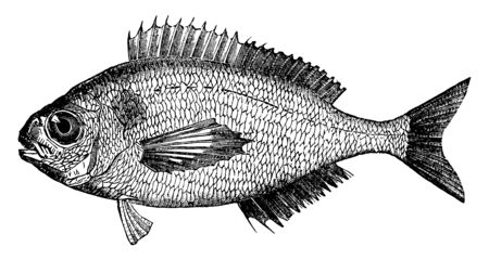 Black Bream is twelve to fifteen inches long, vintage line drawing or engraving illustration.