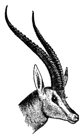 Antelope Head where an antelope is a member of a number of even toed ungulate species, vintage line drawing or engraving illustration.