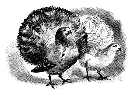 Two Fantail Pigeons is a popular breed of Fancy Pigeon, vintage line drawing or engraving illustration. Çizim