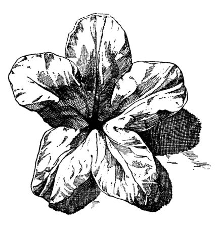 Alpine Rose is used as an ornament design, vintage line drawing or engraving illustration.