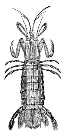 Mantis Shrimp is the members of the order Stomatopoda, vintage line drawing or engraving illustration.