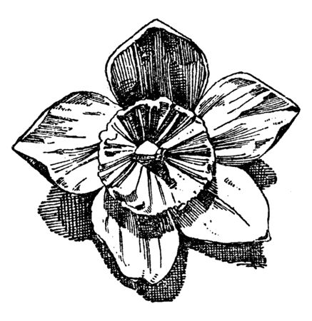 Hellebore Flower is used as an ornament design in flat and relief forms, vintage line drawing or engraving illustration.