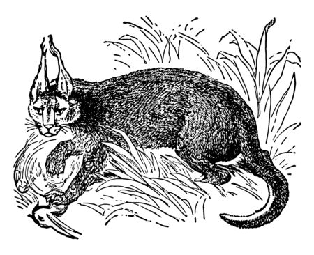 Caracal with Prey a native of Northern Africa and Southwestern Asia, vintage line drawing or engraving illustration. 向量圖像