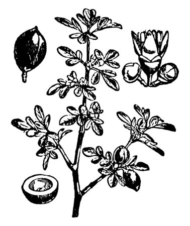 The image shown is, the around of tree branch had many small leaves group are there, also some flowers are surrounding there branch, vintage line drawing or engraving illustration.