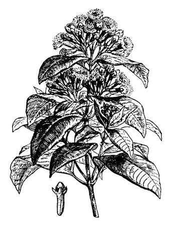 A thick bunch of leaves with many cloves, vintage line drawing or engraving illustration.