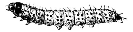 Larva of a Leopard Moth may have a distinct head and the rings of the body, vintage line drawing or engraving illustration. 向量圖像