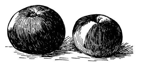 Dans cette image se trouve une petite pomme à dessert, un dessin au trait vintage ou une illustration de gravure. Vecteurs