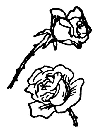 Rose also known as Hulthemia Dumort. Native to Asia. The name rose came from French. Card shows two roses separately, Vintage line drawing or engraving illustration.