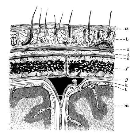 Diagram showing the layers of the scalp and membranes of the brain in section, vintage line drawing or engraving illustration.