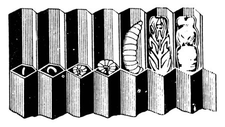 Bee Larva where cells are capped by worker bees when the larva pupates, vintage line drawing or engraving illustration.