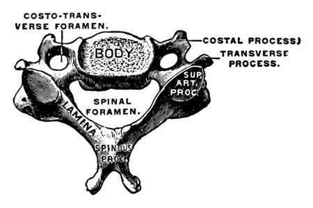 This illustration represents Cervical Vertebra, vintage line drawing or engraving illustration.