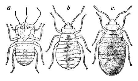 Bedbug Cast off nymphal skin, vintage line drawing or engraving illustration.